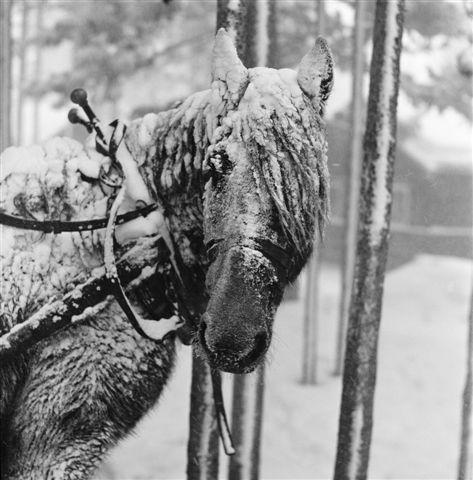 1175095911-bruno-engler-snowy-horse-photograph